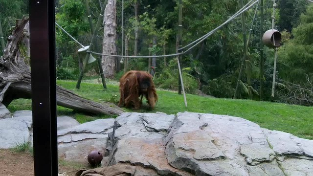 King of the Swingers: A Family of Orangutans at play in the San Diego Zoo