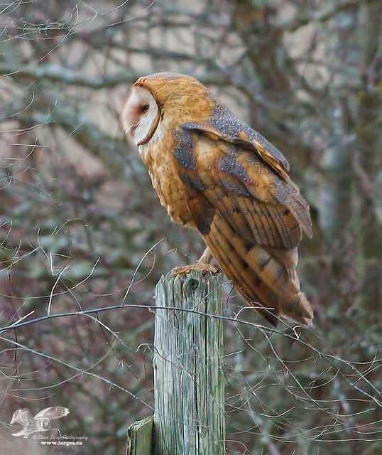 Fleeting Glimps (Barn Owl)