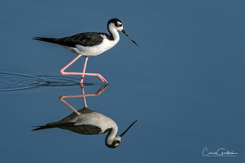 blackneckedstilt bird avian animal wildlife nature blue reflection water nikon d500 600mm