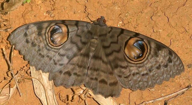 ecosystem/fauna/Owlet Moth(Erebus macrops)
