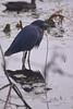 Little Blue Heron by sr667