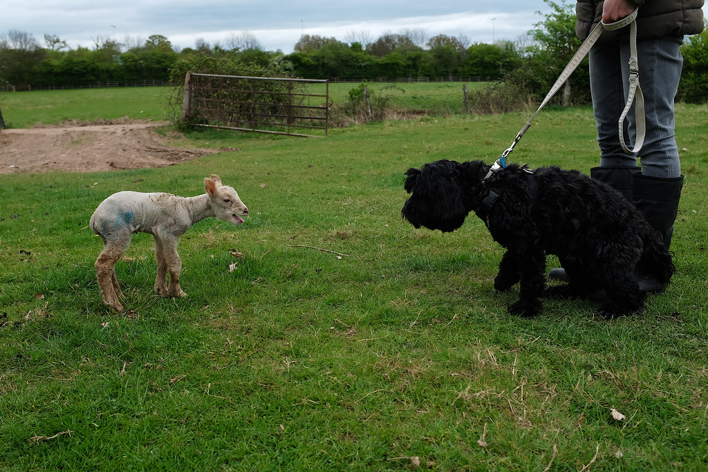 A lamb and a dog stand facing eachother