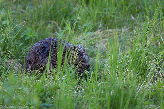 Bever - Eurasian beaver.jpg