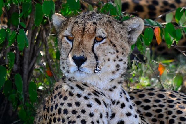 DDR_3765 Cheetah. Maasai Mara National Reserve.  Kenya
