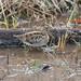 タシギ(Common snipe)