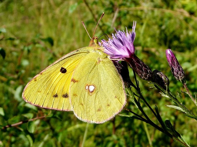 Colias croceus - Souci (FR) - Dark Clouded Yellow, Common Clouded Yellow (UK) - Colias común (ES) - Oranje luzernevlinder (NL) - Postillon, Wander-Gelbling (DE) - Πορτοκαλόχρους πιερίδα (GR) - Sarı azamet (TR)