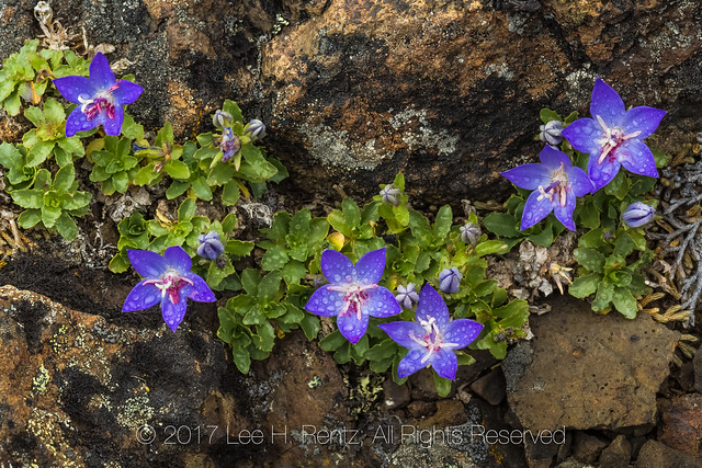 Olympic Bellflower on Mount Townsend in Olympic National Forest