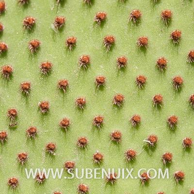 Opuntia microdasys-4