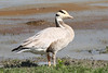 Bar-headed Goose - Anser indicus by Roger Wasley