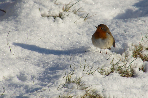 kintore aberdeenshire scotland snow ice winter nature frozen animal birds robin