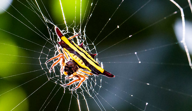 Deadly spider, Meghalaya, India