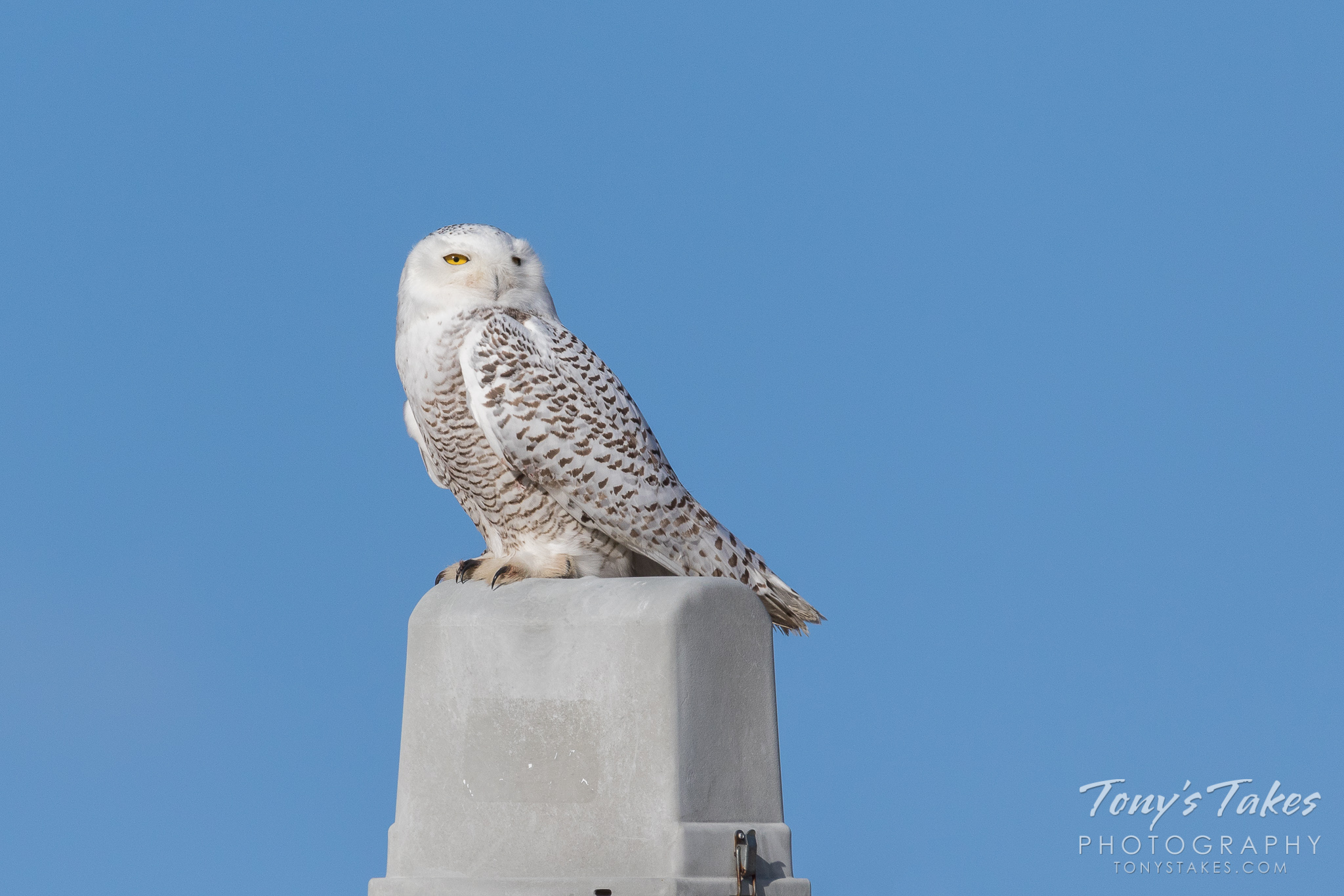 One year ago: Snowy Owl hanging out on the Colorado plains