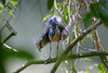 Boat-billed Heron (Cochlearius cochlearius), Corcovado National Park, Costa Rica by Free pictures for conservation