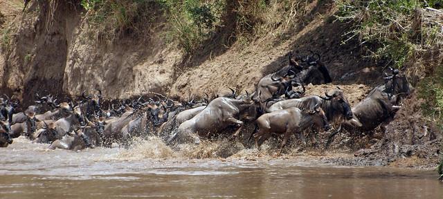 Wildebeest migration - Kenya 2010