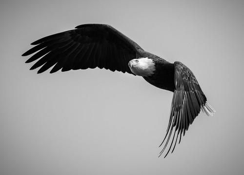 B&W Eagle Pose | From last season, this eagle provided a ...