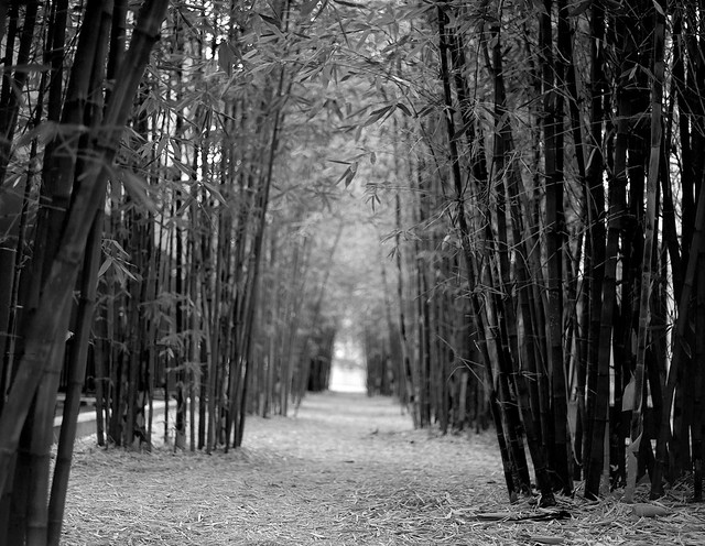 Bamboo forest for the trees