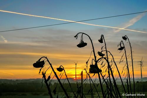 sonnenblumen sunflowers himmel sky sunrise sonnenaufgang sonne sun landschaft landscape