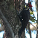 Flickr photo 'Pileated Woodpecker (Dryocopus pileatus)' by: Mary Keim.