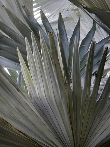 Silvery fan palm at KL Bird Park, Malaysia
