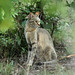 Felis lybica cafra ♀ (Southern African Wildcat) - South Africa by Nick Dean1