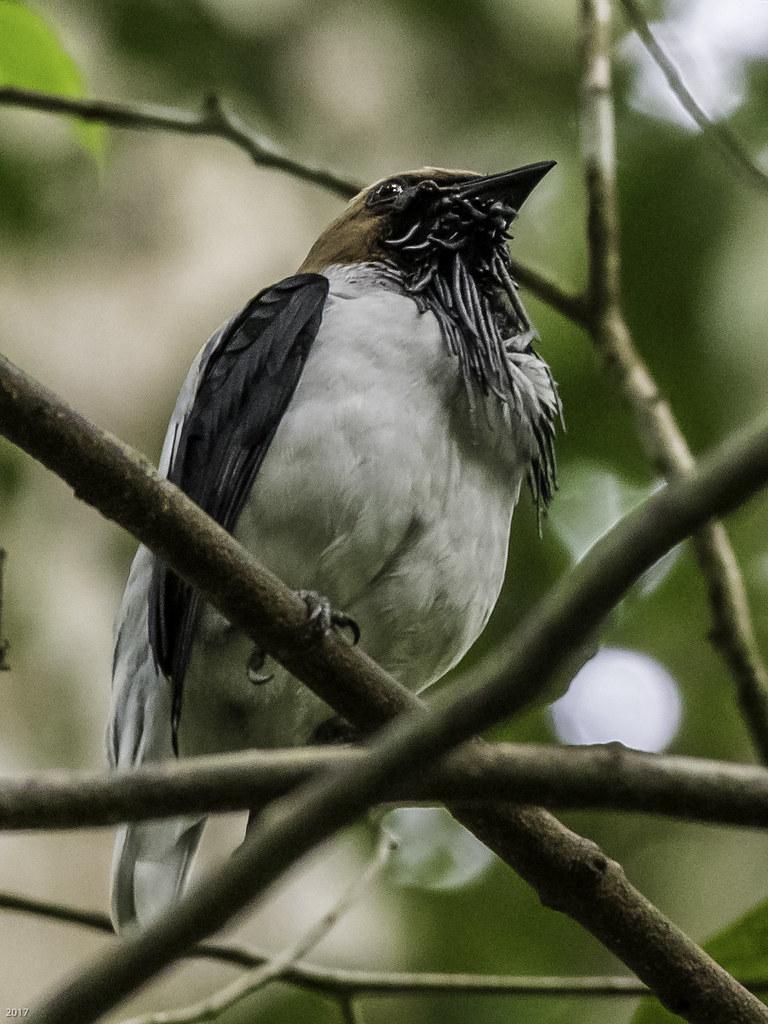 Bearded Bellbird 171221 Asa Wright -185