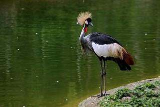 Grey Crowned Crane - Cebu Safari & Adventure Park | by eazytraveler