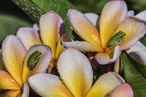 frangipani flowers spring backyard australia queensland longexposurephotography macro fun plant flower cluster outdoor bright greentreefrog wildlife frog norberttrewin nikond810