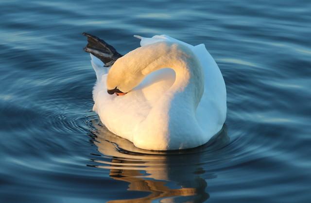 Sunshine Swan
