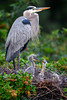 Great blue heron (Ardea herodias) with two week old chicks at Venice Audubon Rookery, Venice, Florida by diana_robinson