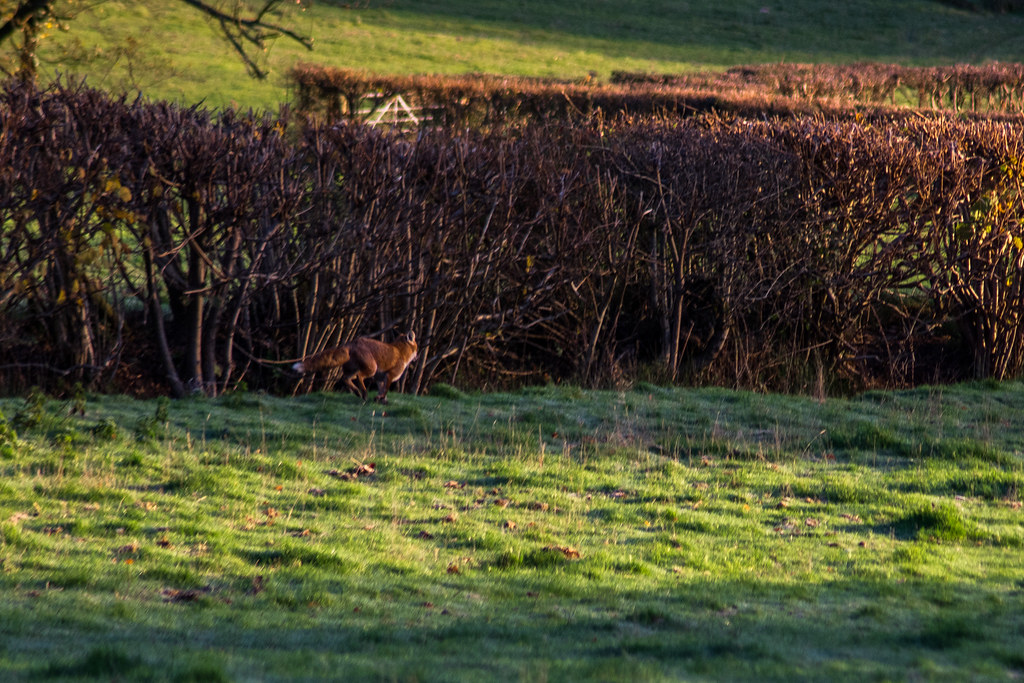 My first attempt at photographing Foxes ... did not go well