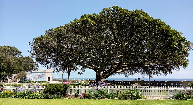 Pt. Fermin (San Pedro, California) Moreton Bay Fig tree