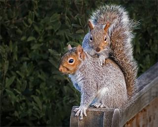 Wk 51 2017-12-19-Garden-Squirrels-by Keith Taylor