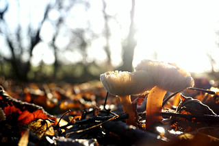 Ampulloclitocybe clavipes. (Club Foot Mushroom)