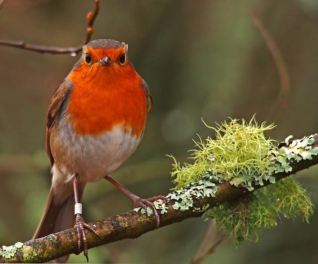 Robin at RSPB Leighton Moss.