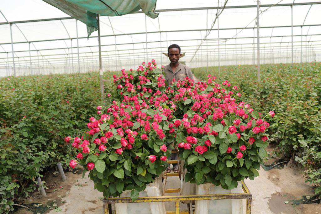 Man transporting roses at AQ Roses PLC farm near Ziway, Et