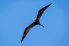 Magnificent Frigatebird by jrp76