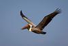 Pelican in flight., Pelecanus occidentalis by C.O'N