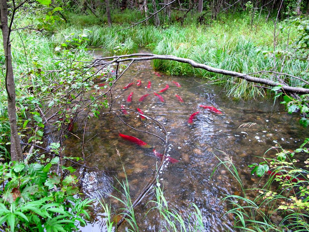 Sockeye Salmon in a Small Stream