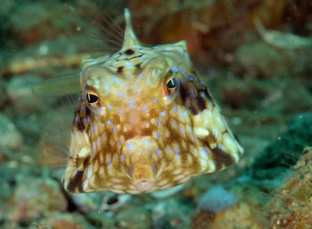 073_adj_DSC_7411 Indonesian cowfish