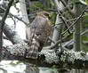 Little Sparrowhawk by Mandara Birder