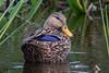 Mottled Duck by Jmawnster
