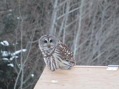 Barred Owl, Sax-Zim Bog, MN 1/6/2018