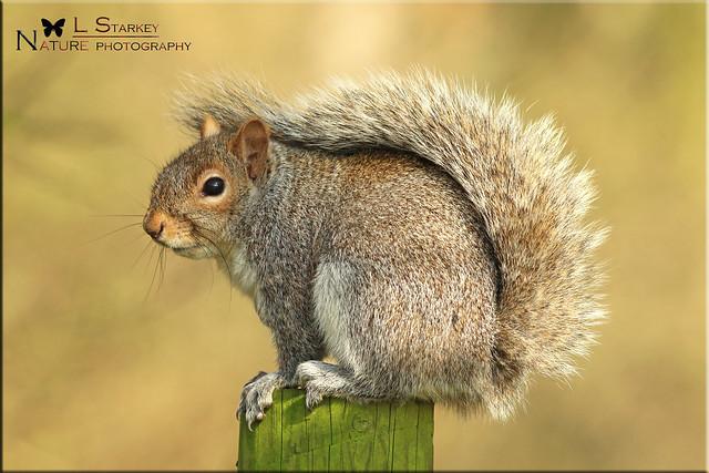 Grey Squrrel