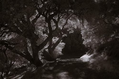 mountburdellopenspacepreserve novato blackandwhite infrared trees foliage backlit sunlight road passage tunnel marincounty california
