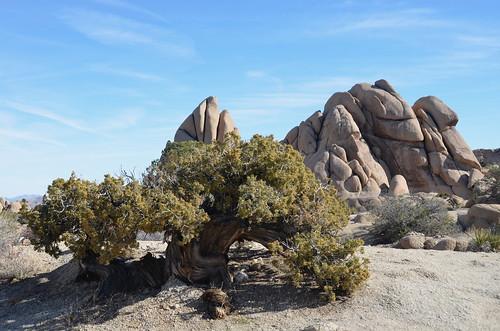 Joshua Tree - gnarley tree