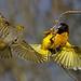 Weaver Female Flyby by mark f2.9