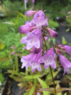 Small's Penstemon | by capemaynativeplants