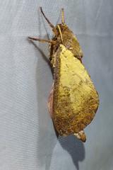 Hepialidae: Oxycanus perplexus