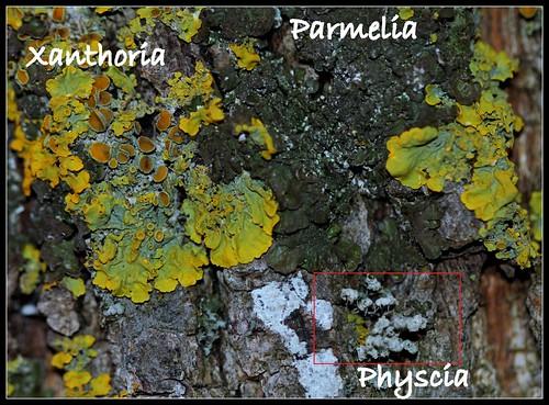 Physcia ascendens 28341496269_ab6501d4af
