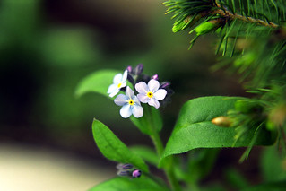 Forget-me-nots | by pmvarsa